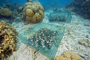 Coral propagation in protective cages on reef in Palau, Micronesia.  -  David Fleetham