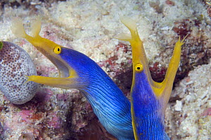 Pair of blue ribbon eels (Rhinomuraena quaesita), Indonesia.  -  David Fleetham