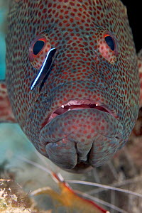 Cleaner wrasse (Labroides dimidiatus) looking for parasites on Coral grouper / hind (Cephalopholis miniata). A Scarlet cleaner shrimp (Lysmata amboinensis) can be seen waiting for its turn below, Mabu... - David Fleetham
