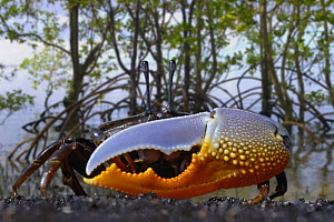 Fiddler crab (Uca sp.) showing enlarged claw in the mangroves, Indonesia. - David Fleetham