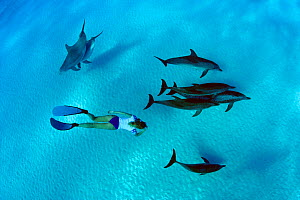 Freediver swimming with Atlantic bottlenose dolphins (Tursiops truncatus) and Atlantic spotted dolphins (Stenella frontalis / plagiodon), Bahamas Bank, Caribbean.  -  David Fleetham
