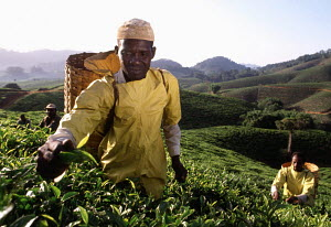 Workers picking tea leaves (Camellia sinensis) at a tea plantation in Tanzania, Africa, 2003. - Gary John Norman