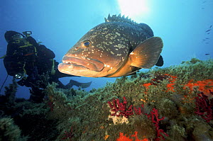 Diver and Grouper fish (Ephinephelus sp.) off Corsica's Lavezzi, Mediterranean.  -  Angelo Giampiccolo