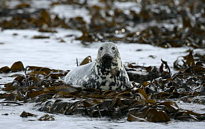 Grey seal (Halichoerus grypus) lying on seaweed covered rocks. Northumberland, UK.  -  Barry Bland