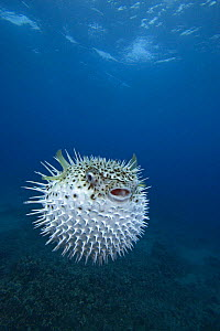 Inflated spotted porcupinefish (Diodon hystrix), Maui, Hawaii.  -  David Fleetham