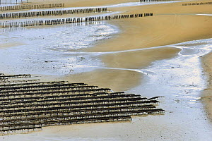 Rows of mussel beds (Mytillus genus) exposed at low tide on Fresnay Bay, Brittany, France.  -  Marc Robillard