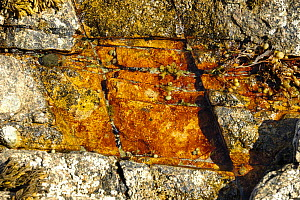 Orange algae and seaweed on the rocks, Ireland.  -  Marc Robillard