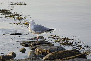 Seagull standing on the stones in the morning, Locmariaquer harbours, Morbihan, Brittany France.  -  Marc Robillard