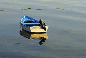 Wooden tender moored on the still waters of Locmariaquer harbours, Morbihan, Brittany, France.  -  Marc Robillard