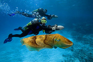 Divers on underwater scooters with common cuttlefish (Sepia officinalis), Palau, Micronesia. Model released.  -  David Fleetham