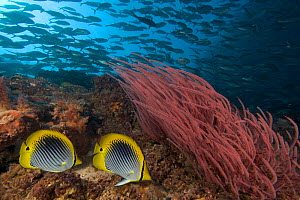 Reef scene with schooling jacks, alcyonarian coral and a pair of spot-tailed butterflyfish (Chaetodon ocellicaudus), Sipidan Island, Malaysia.  -  David Fleetham