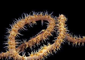 Whip coral dwarf goby (Bryaninops youngei), at night on feeding Black / Whip / Wire coral (Cirrhipathes anguina), Hawaii.  -  David Fleetham