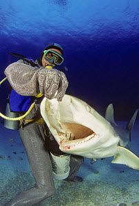 Diver in full chain mail suit, hand feeding a Caribbean reef shark (Carcharhinus perezi) off Freeport, Bahamas. Model released.  -  David Fleetham
