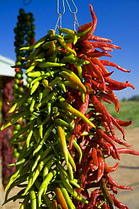 Red hot calabria peppers hanging up, Catanzaro province, Italy.  -  Angelo Giampiccolo