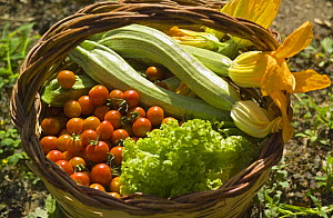 Fresh vegetable and salad produce from a kitchen garden, Manziana, Rome, Italy.  -  Angelo Giampiccolo