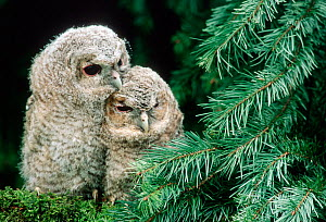 Two young Tawny owls {Strix aluco} Germany - Delpho / ARCO