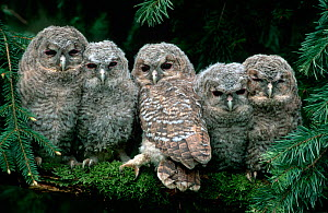 Five young Tawny owls {Strix aluco} Germany - Delpho / ARCO