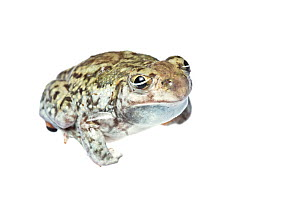 Plains Spadefoot Toad (Spea bombifrons), male, showing front-side view, Hidalgo County, Lower Rio Grande Valley, Texas, United States of America, North America, September  -  Seth Patterson