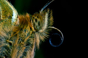 Dark Green Fritillary butterfly close-up showing coiled proboscis {Mesoacidalia aglaja}  -  Duncan Mcewan