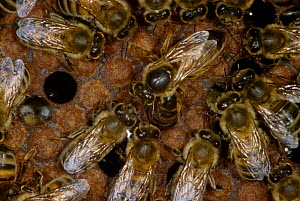 Honey bee workers feed queen (Apis mellifera) UK  -  John B Free