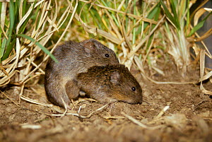 Prairie voles mating {Microtus ochrogaster} captive. After mating for up to 40 hours both  -  Miles Barton