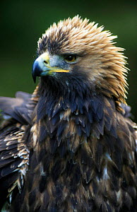 Golden eagle portrait (Aquila chrysaetos) 4th year male. Scotland.  -  Niall Benvie
