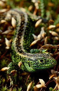 Sand lizard male {Lacerta agilis} UK  -  Chris Packham