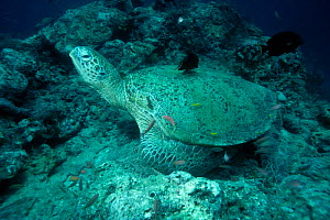 Green Turtle (Chelonia mydas) with cleaning fish at cleaning station. Sipadan Malaysia - Georgette Douwma