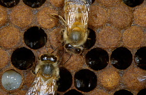 Honey bee larvae in uncapped cells {Apis mellifera} UK  -  John B Free