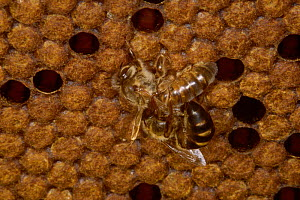 Virgin honey bee queens fighting {Apis mellifera} UK  -  John B Free