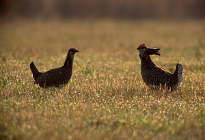 Greater Prairie Chicken males on booming ground (Tympanuchus cupido) Wisconsin USA  -  Thomas Lazar