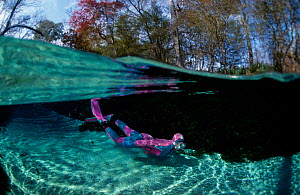 Split level of snorkeler underwater in freshwater pond. Florida USA  -  Jurgen Freund