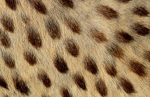 Fur pattern detail from Cheetah pelt {Acinonyx jubatus}  -  Tony Heald