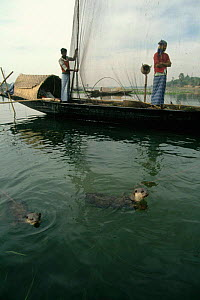 Smooth Indian Otter trained to drive fish into nets, Bangladesh {Lutra perspicillata} fishermen - John Downer