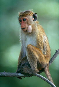 Young female toque macaque with full cheeks (Macaca sinica) Sri Lanka  -  Chris Taylor