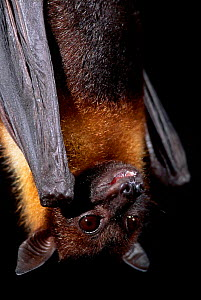 Indian flying fox {Pteropus giganteus} captive USA  -  Niall Benvie