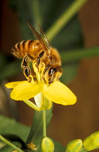 Honey bee foraging on oilseed rape (Apis mellifera) England  -  John B Free