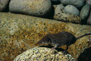 Lesser white toothed shrew (Crocidura sauveolens) Scilly Isles, UK  -  Andrew Cooper