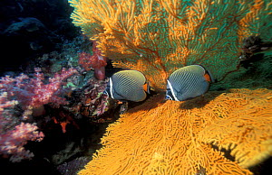 Collared butterfly fish with fan coral (Chaetodon collare) Thailand, Andaman Sea.  -  Georgette Douwma