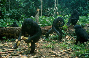 Bonobo group gathering sugarcane (Pan paniscus) tropical rain forest Wamba  -  Karen Bass