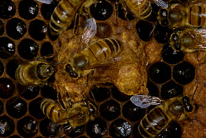Honey bee workers ting queen cells pupae (Apis mellifera) U  -  John B Free
