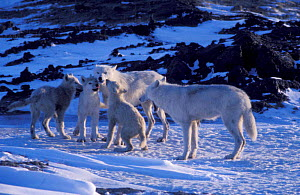 Grey wolf family on Ellesmere (Canis lupus) pups begging for food. White Arctic race, wild,  -  Jeff Turner