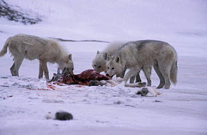 Grey wolves feed on caribou calf kill, Ellesmere (Canis lupus) White Arctic race Canada.  -  Jeff Turner
