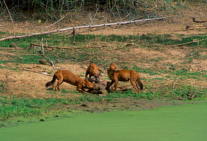Dhole pack (Cuon alpinus) on Sambar kill. Nhole NP South India - Lockwood & Dattatri