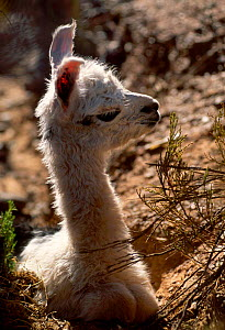 Newborn Llama calf {Llama glama} Andes Argentina  -  Ross Couper-Johnston