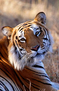 Tiger portrait (Panthera tigris) India captive - Lockwood & Dattatri