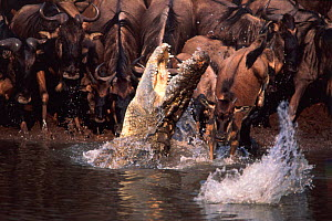 Nile crocodile {Crocodylus niloticus) lunging at Wildebeest calf. Masai river Kenya  -  Anup Shah