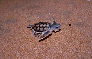 Green turtle hatchling heads for the sea {Chelonia mydas} Sri Lanka - Lockwood & Dattatri