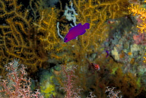 Orchid Dottyback {Pseudochromis fridmani} Red Sea  -  Peter Scoones