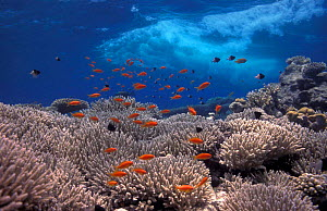 Coral reef scenic with Anthias and waves Red Sea Egypt  -  Georgette Douwma